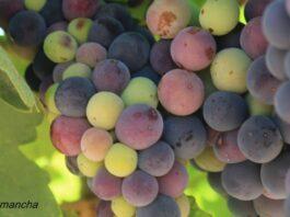 qué es el envero uva vid viñedo