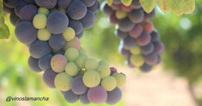 que es el envero uva vid viñedo