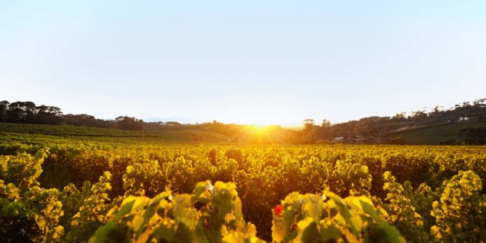 vinodiversidad vinedo cambio climatico
