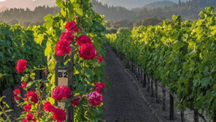 Por qué hay rosales en los viñedos