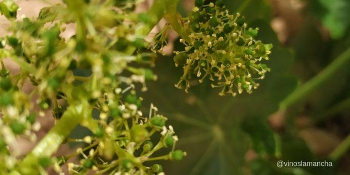 estado floración del viñedo