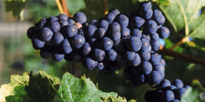 maduracion de la uva tecnica