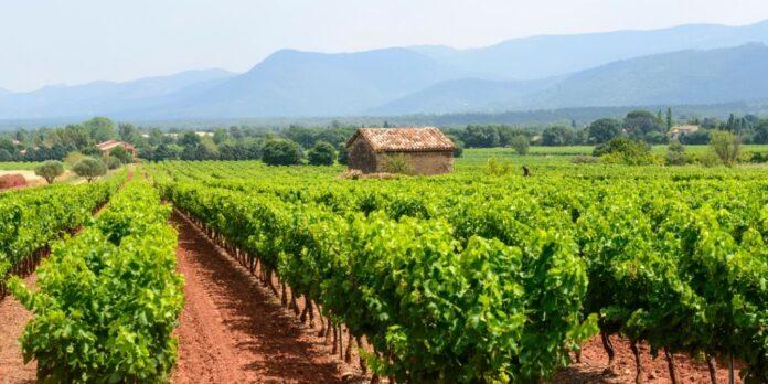 plantacion viñedo 2020