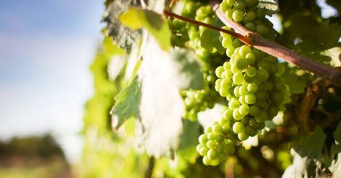 plazos arranque plantacion viñedo