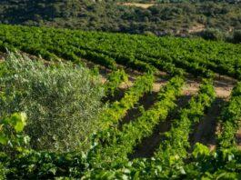 reestructuración de viñedo en España