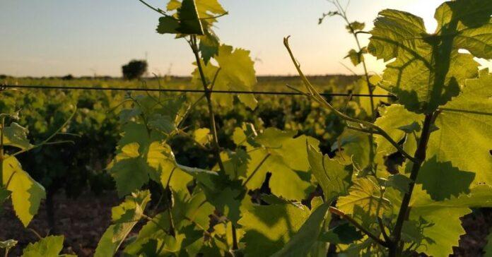 cosecha en verde medidas vid viñedo uva