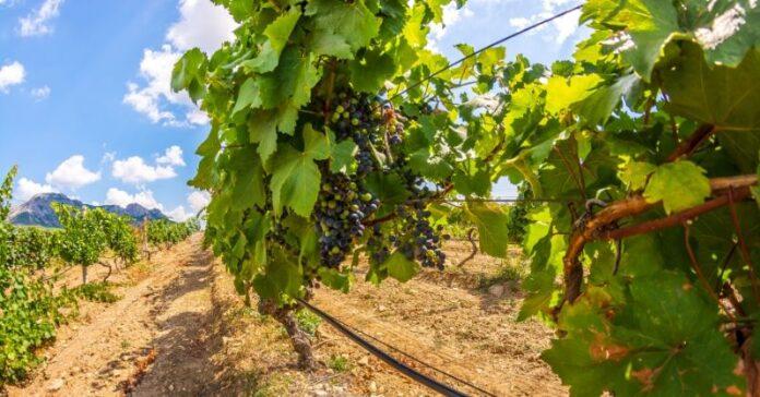 autorizacion plantacion viñedo 2020