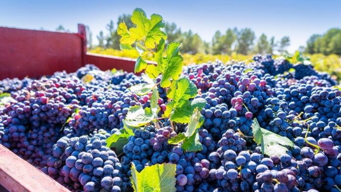 el precio de la uva 2020
