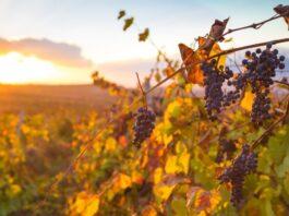 acceso al viñedo inversión renta