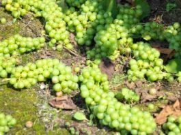 uvas suelo cosecha verde