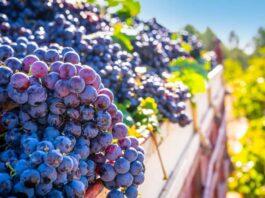 contrato de compraventa de uva